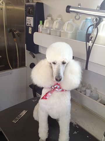 A white poodle sits in the Grooming van.