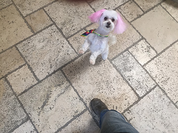 A small white dog with pink ears sits on the floor.