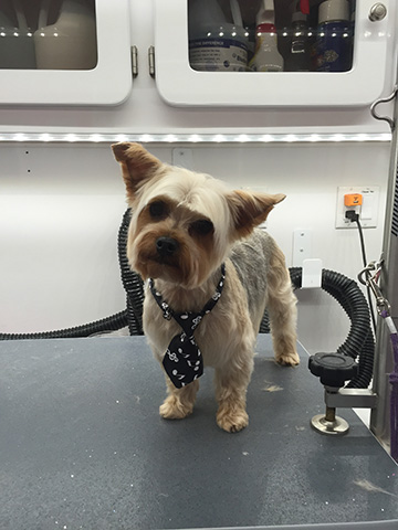 Yorkshire Terrier sits on a Grooming table.