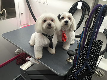Two small white dogs sit on a Grooming table.