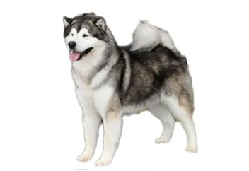 71-90lb Dog with double coat.