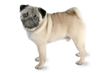 10-25lb Dog with short coat.