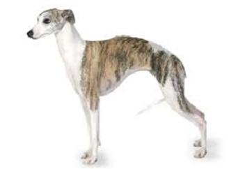 26-40lb Dog with short coat.