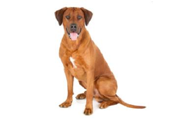 71-90lb Dog with short coat.