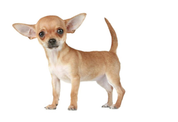 Small Dog with short coat.