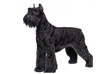 71-90lb Dog with wire coat.