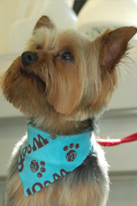 Yorkshire Terrier with bandana.