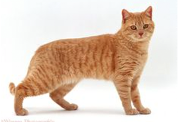 Cat with short coat.